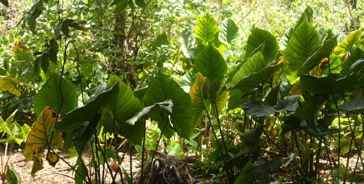 Taro patch in the forest.