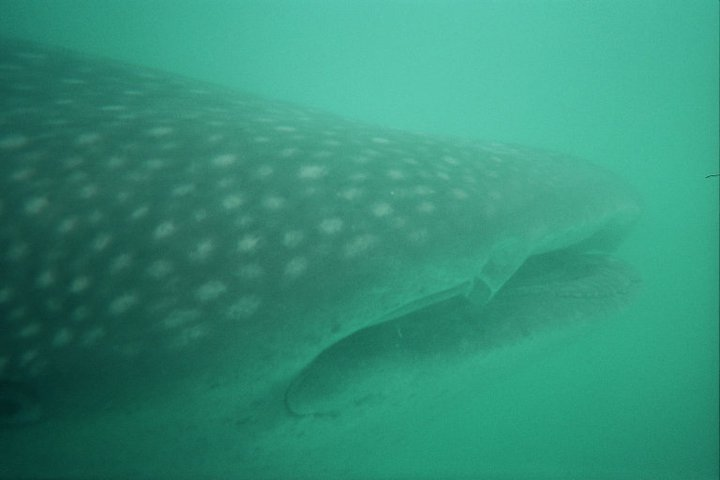 One of the whale sharks we had an encouter with in donsol.  They are beautiful, slow moving,  plankton eating giants.  And I love them.